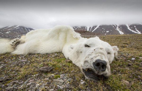starving_polar_bear_Svalbard